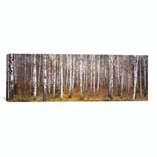 Silver birch trees in a forestNarke, Sweden by Panoramic Images Gallery Wrapped Canvas Artwork