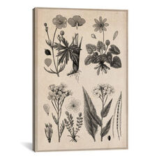 New British Herbal Sketch by Unknown Artist Gallery Wrapped Canvas Artwork